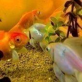 金魚さんのプロフィール画像