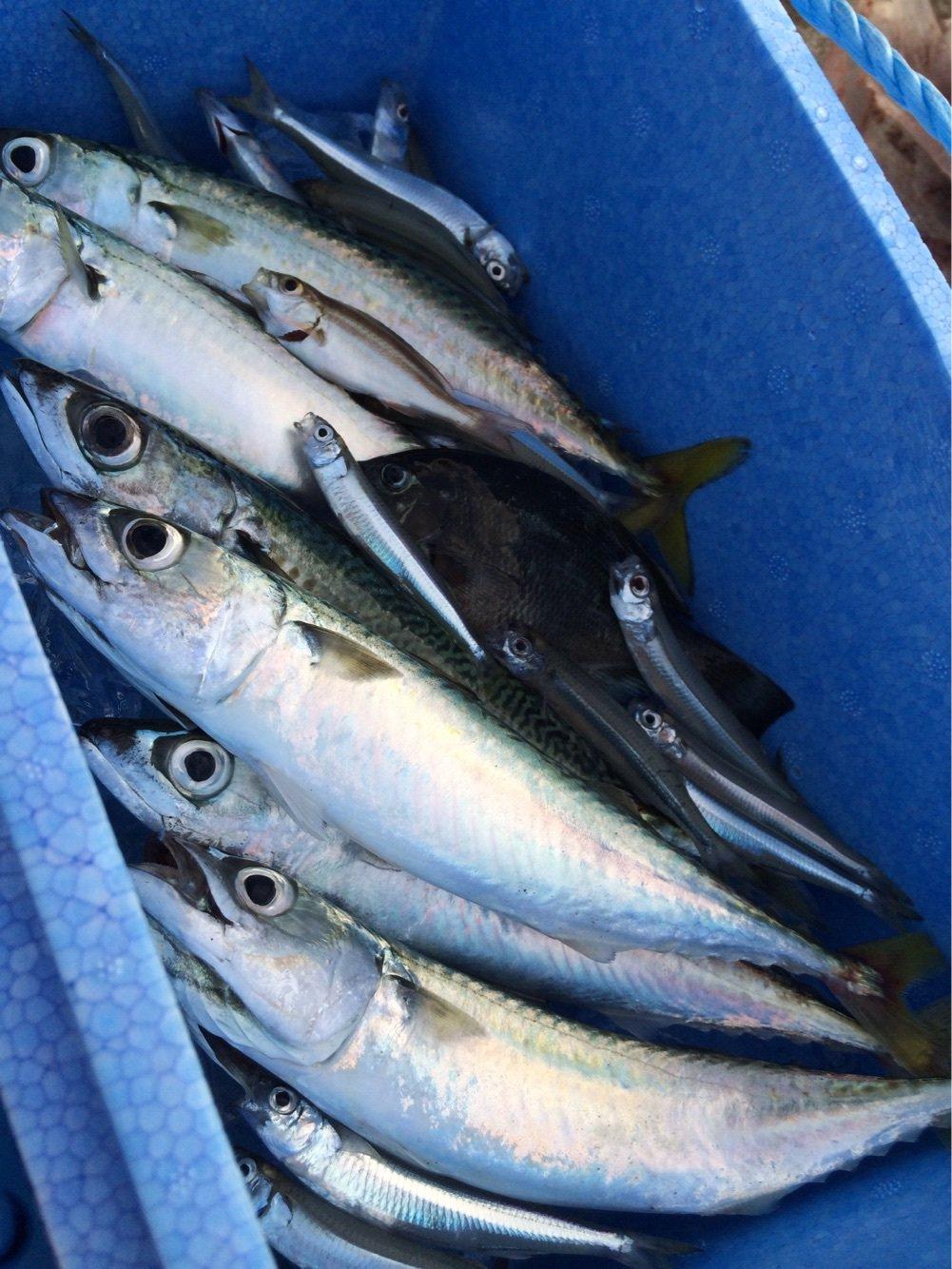 カズワタベさんの投稿画像,写っている魚はマサバ