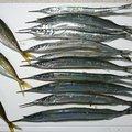 サカモンさんの福岡県でのサヨリの釣果写真
