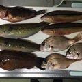 へっぽこズボ釣り師さんの兵庫県でのキュウセンの釣果写真