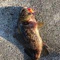 Okai Taxiさんの三重県四日市市でのメバルの釣果写真
