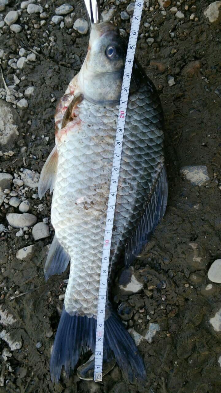 思春さんの投稿画像,写っている魚はヘラブナ