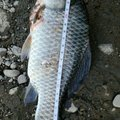 思春さんの新潟県でのヘラブナの釣果写真
