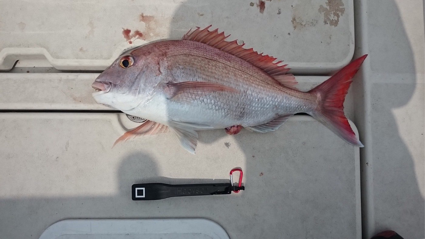 ミッチーさんの投稿画像,写っている魚はマダイ