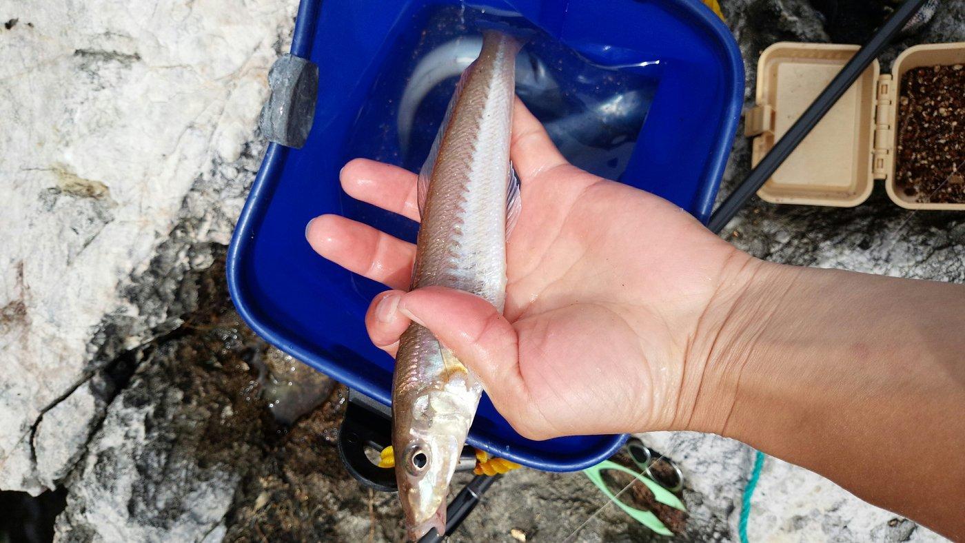 ぶぅー!さんの投稿画像,写っている魚はシロギス