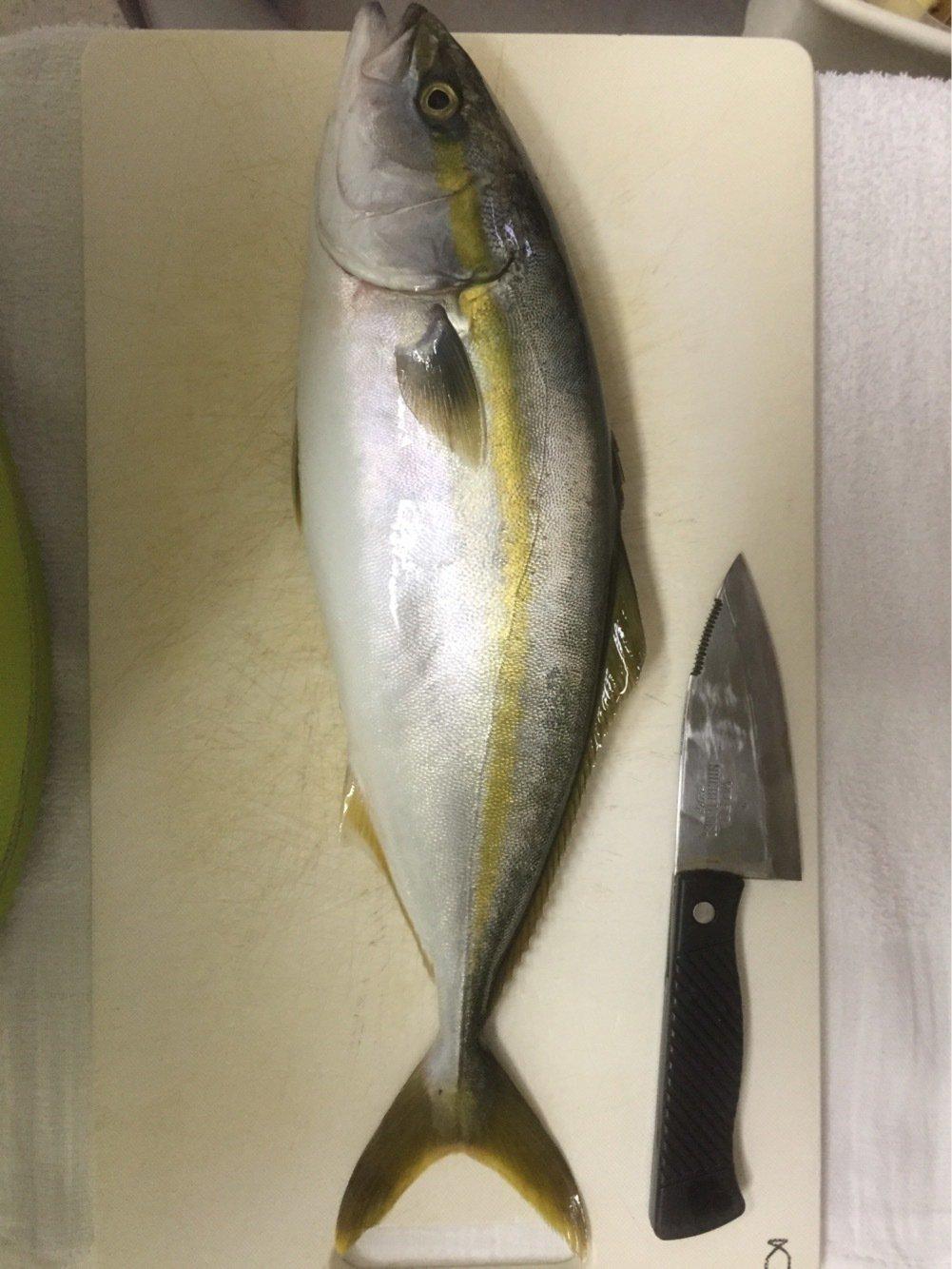 まるたさんの投稿画像,写っている魚はブリ