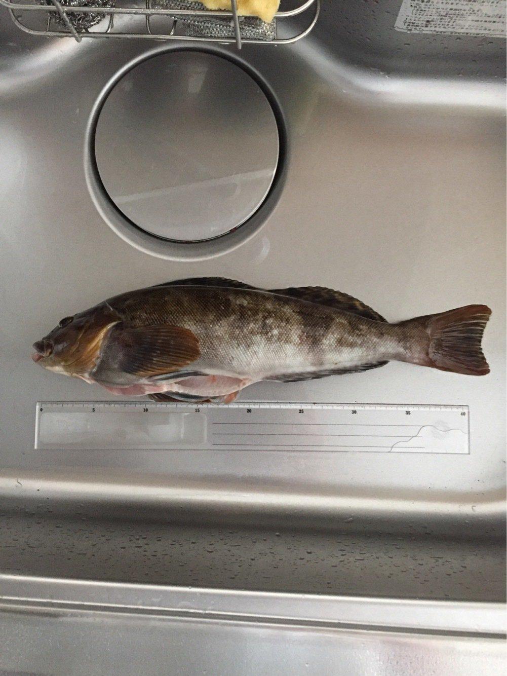 さかなやはなやさんの投稿画像,写っている魚はアイナメ