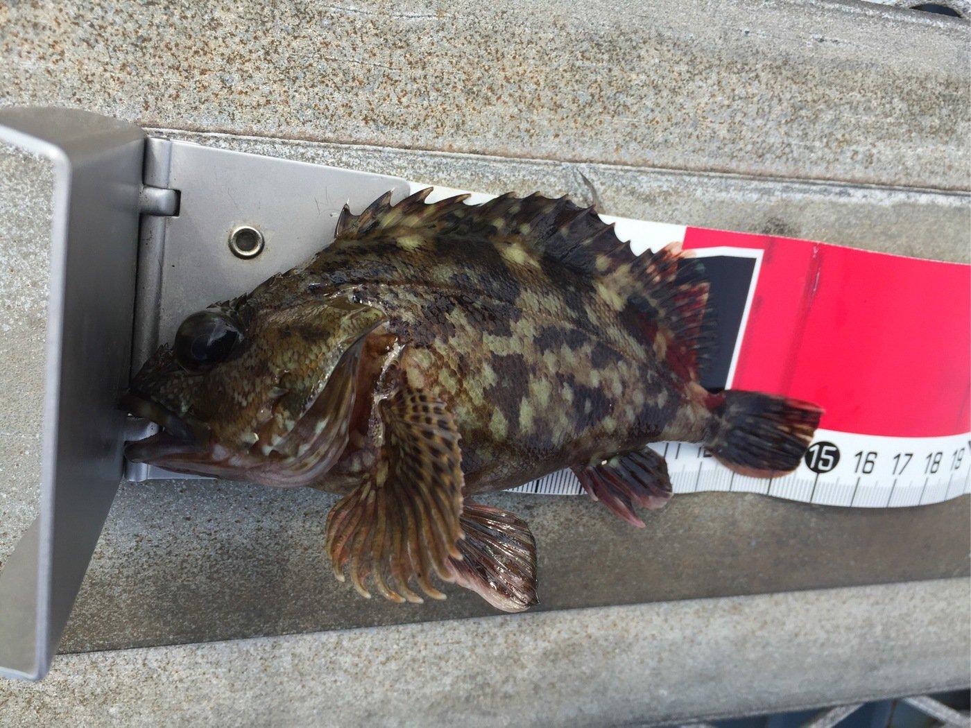 さわさんの投稿画像,写っている魚はカサゴ