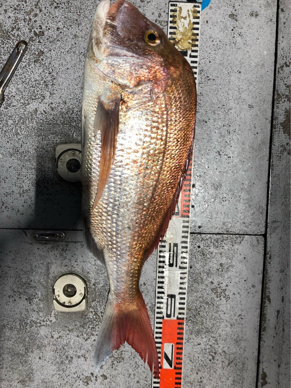 ask11さんの投稿画像,写っている魚はマダイ