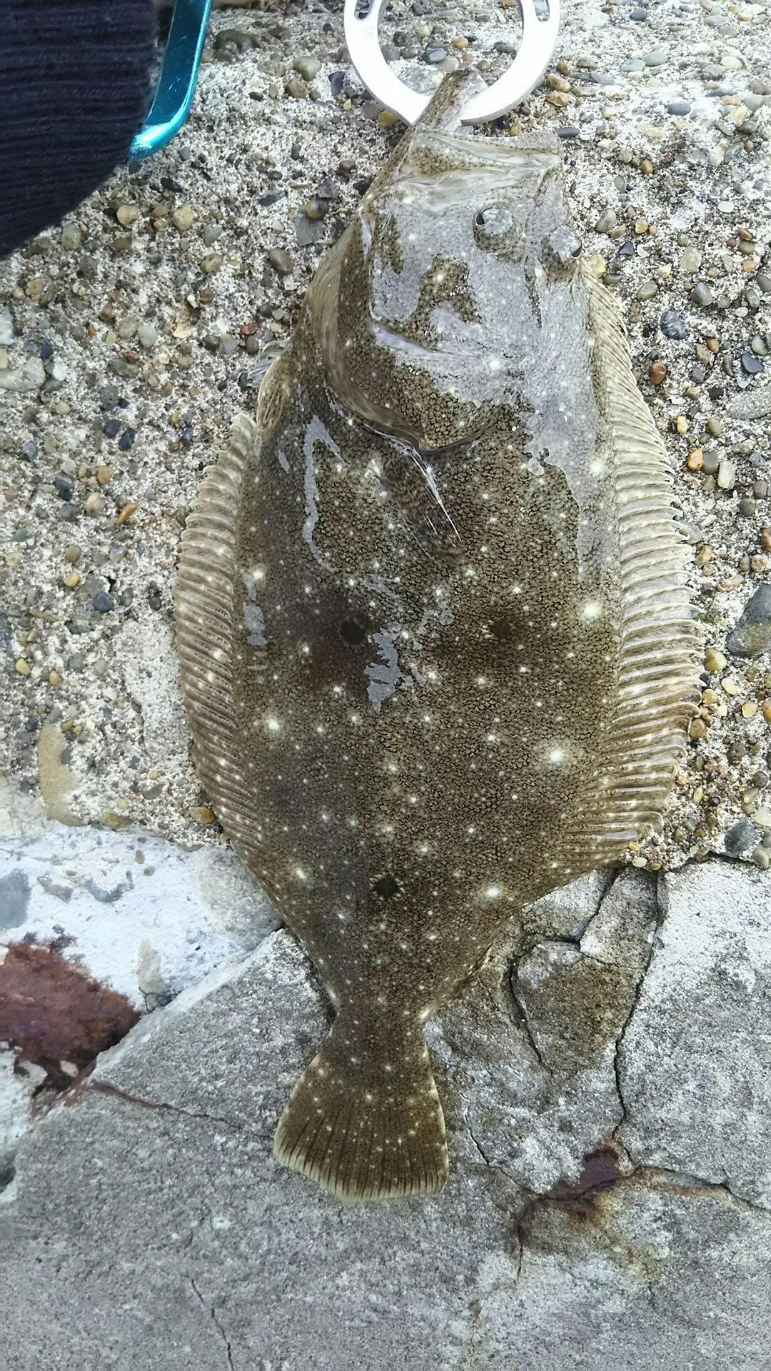 たらこさんの投稿画像,写っている魚はヒラメ