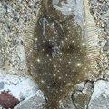 たらこさんの新潟県三島郡でのヒラメの釣果写真