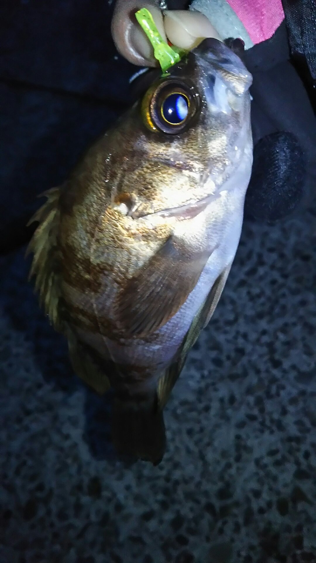 たらこさんの投稿画像,写っている魚はメバル