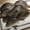 えびちゃん❗️さんの三重県鳥羽市でのシロギスの釣果写真