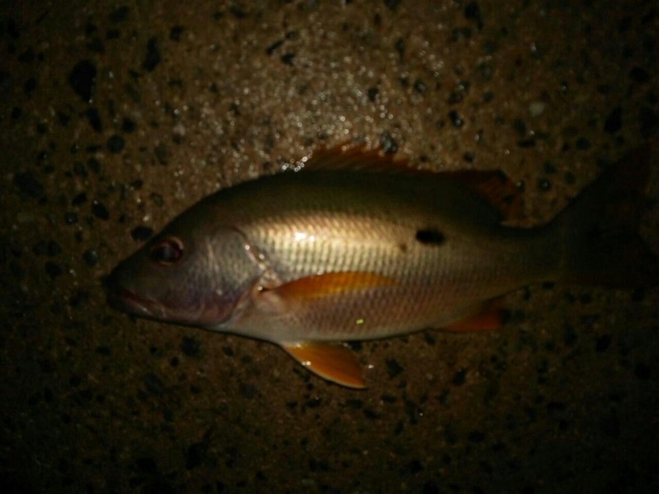 ぼびぃさんの投稿画像,写っている魚はイッテンフエダイ