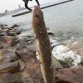 ととのすけさんの兵庫県明石市でのエソの釣果写真