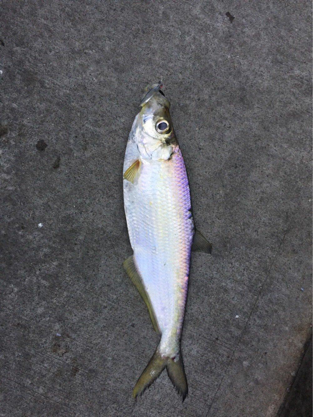 鬼塚さんの投稿画像,写っている魚は