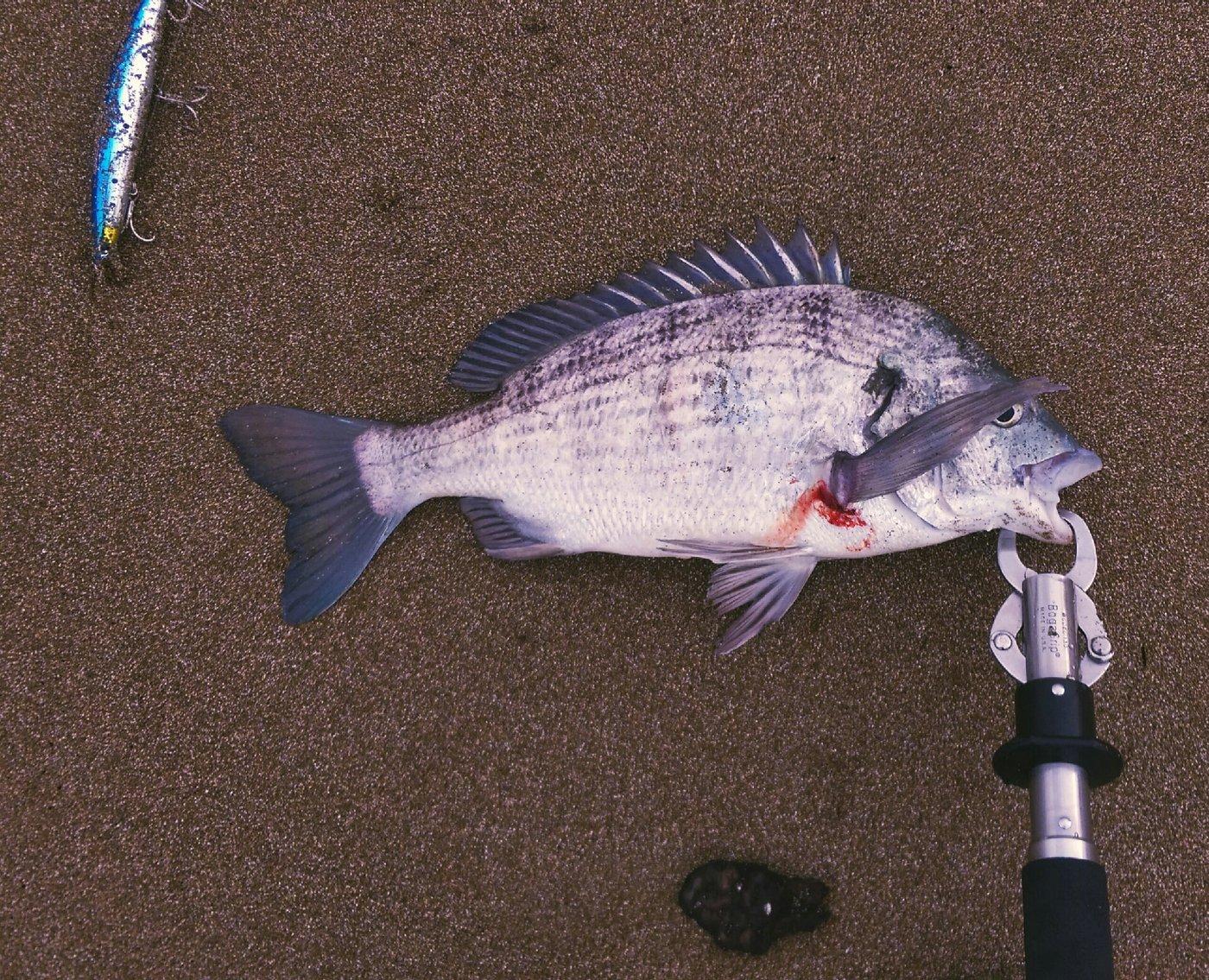 ぽちさんの投稿画像,写っている魚はクロダイ