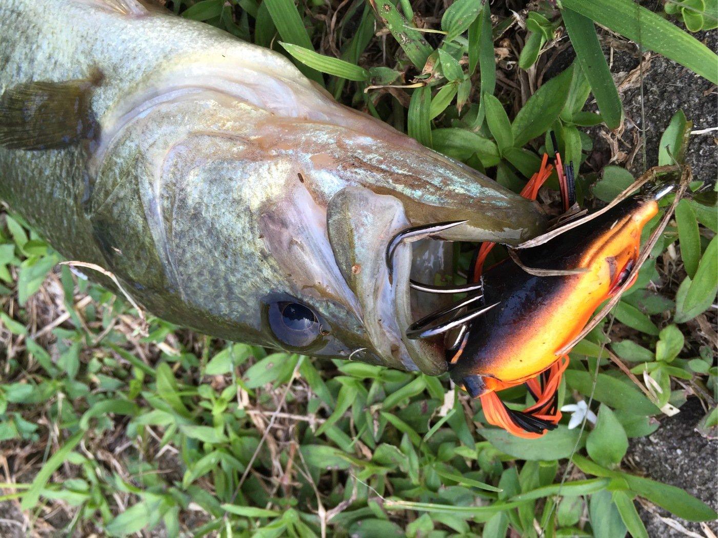 大隅カツ太郎さんの投稿画像,写っている魚はブラックバス