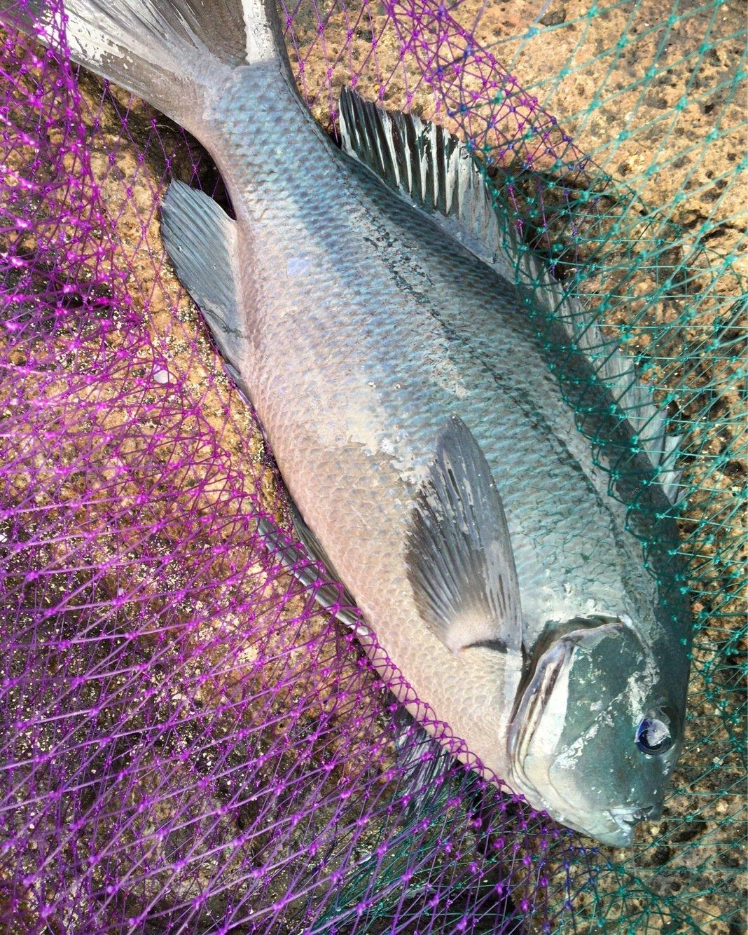 michiさんの投稿画像,写っている魚はメジナ