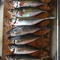宮川さんの香川県善通寺市での釣果写真