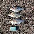 owldさんの千葉県でのウミタナゴの釣果写真