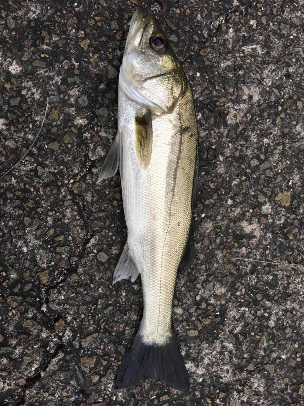まあさんの投稿画像,写っている魚はスズキ