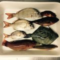 momoさんの兵庫県でのキュウセンの釣果写真
