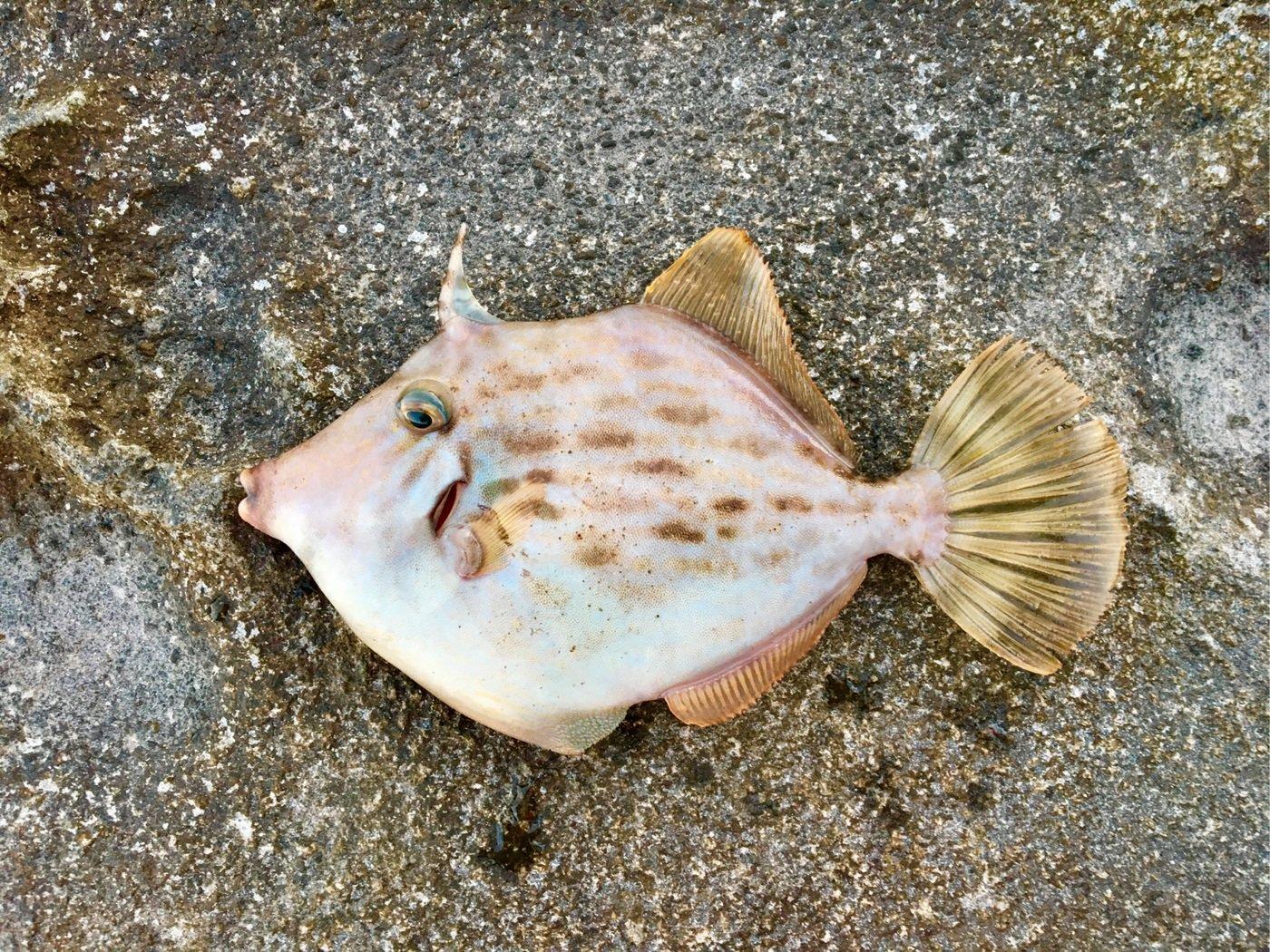 青樹さんの投稿画像,写っている魚はカワハギ