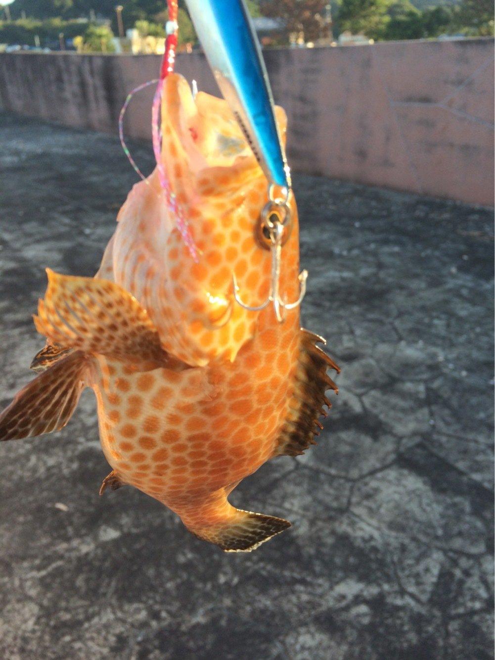 浜風さんの投稿画像,写っている魚はオオモンハタ