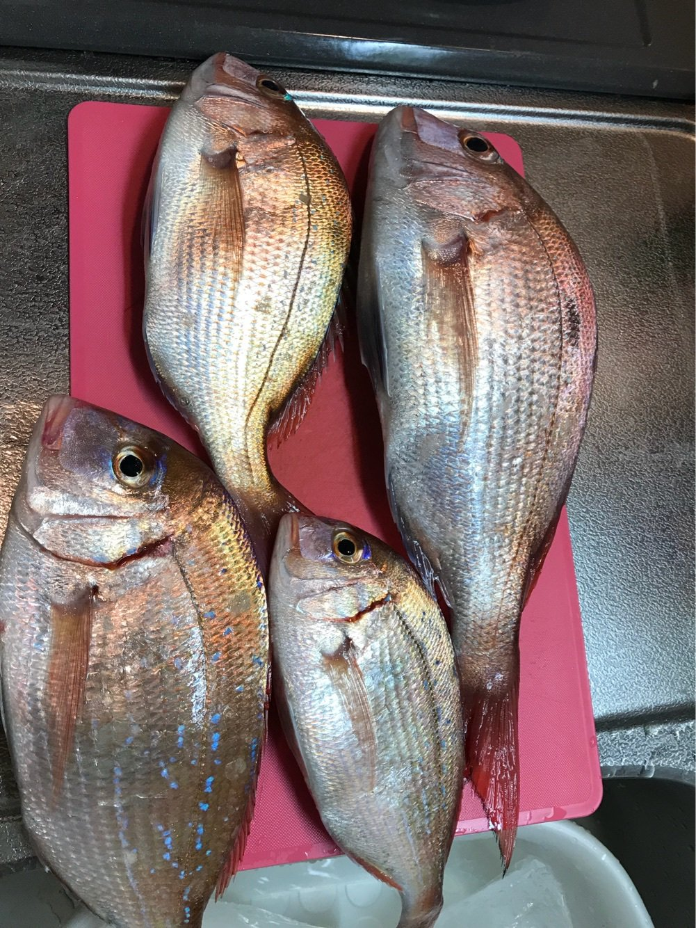 こしさんの投稿画像,写っている魚はマダイ