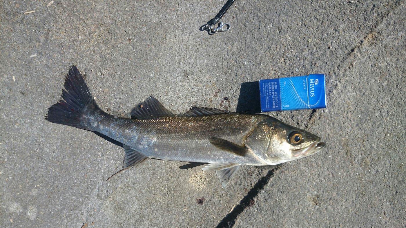 sugiraさんの投稿画像,写っている魚はスズキ
