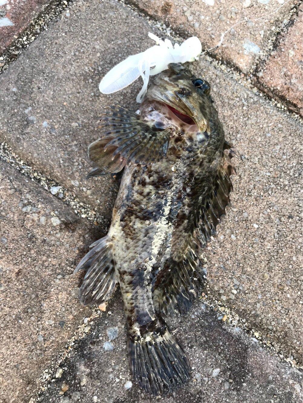 やっさん@釣りっちゃ倶楽部さんの投稿画像,写っている魚はカサゴ