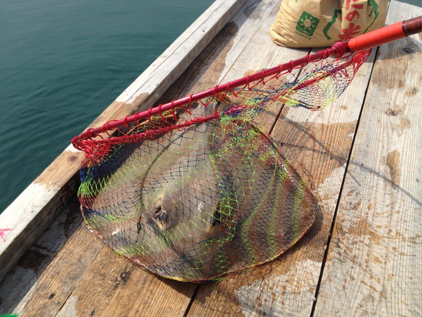 きみ☆チヌlove♡さんの投稿画像,写っている魚はアカエイ