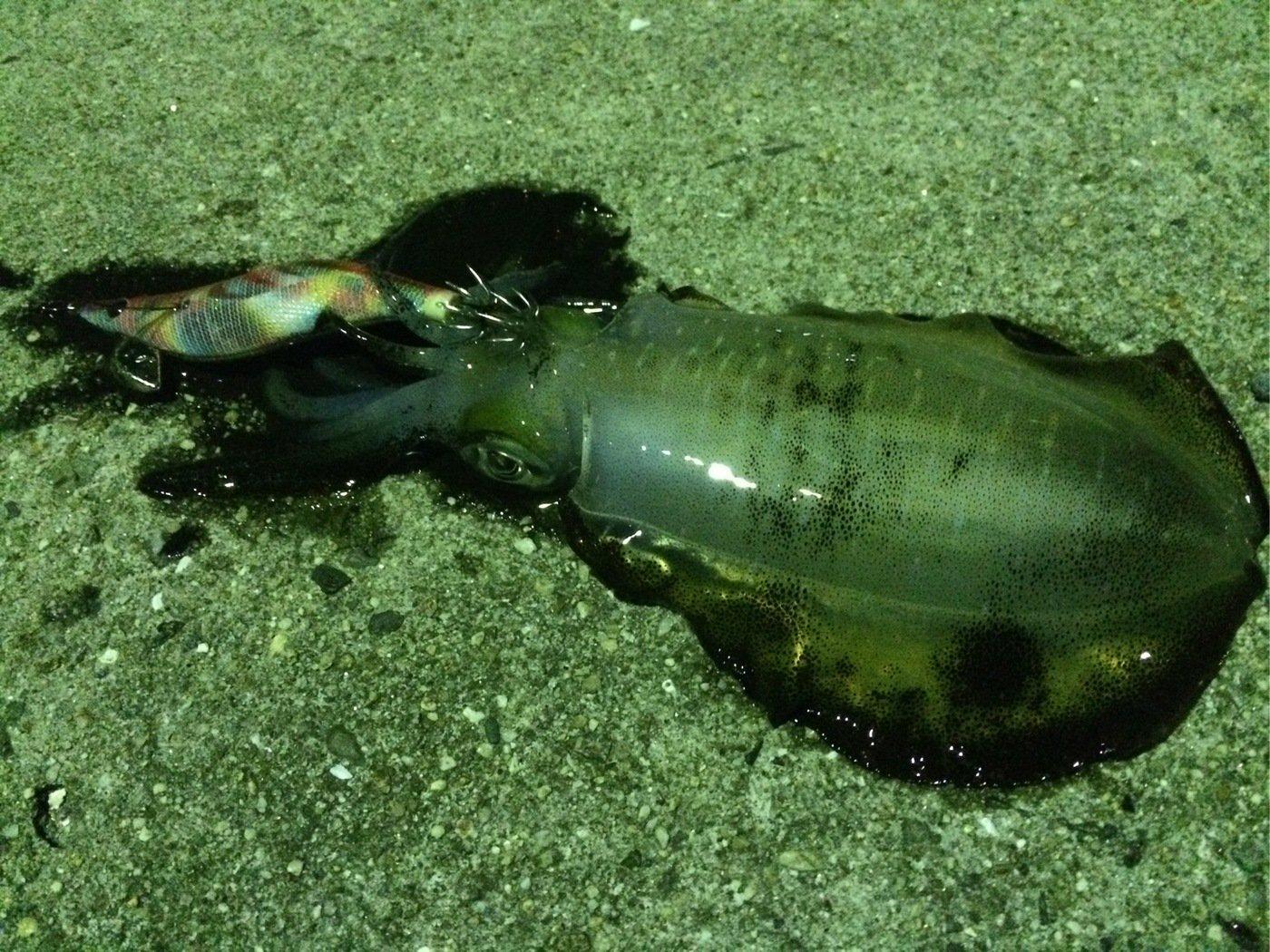 七里の渡しさんの投稿画像,写っている魚はアオリイカ