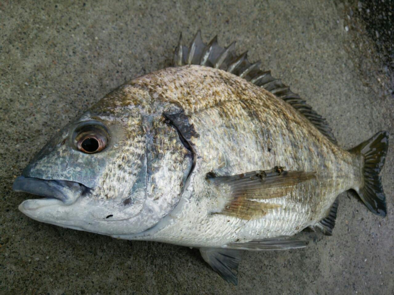 ぼびぃさんの投稿画像,写っている魚はクロダイ