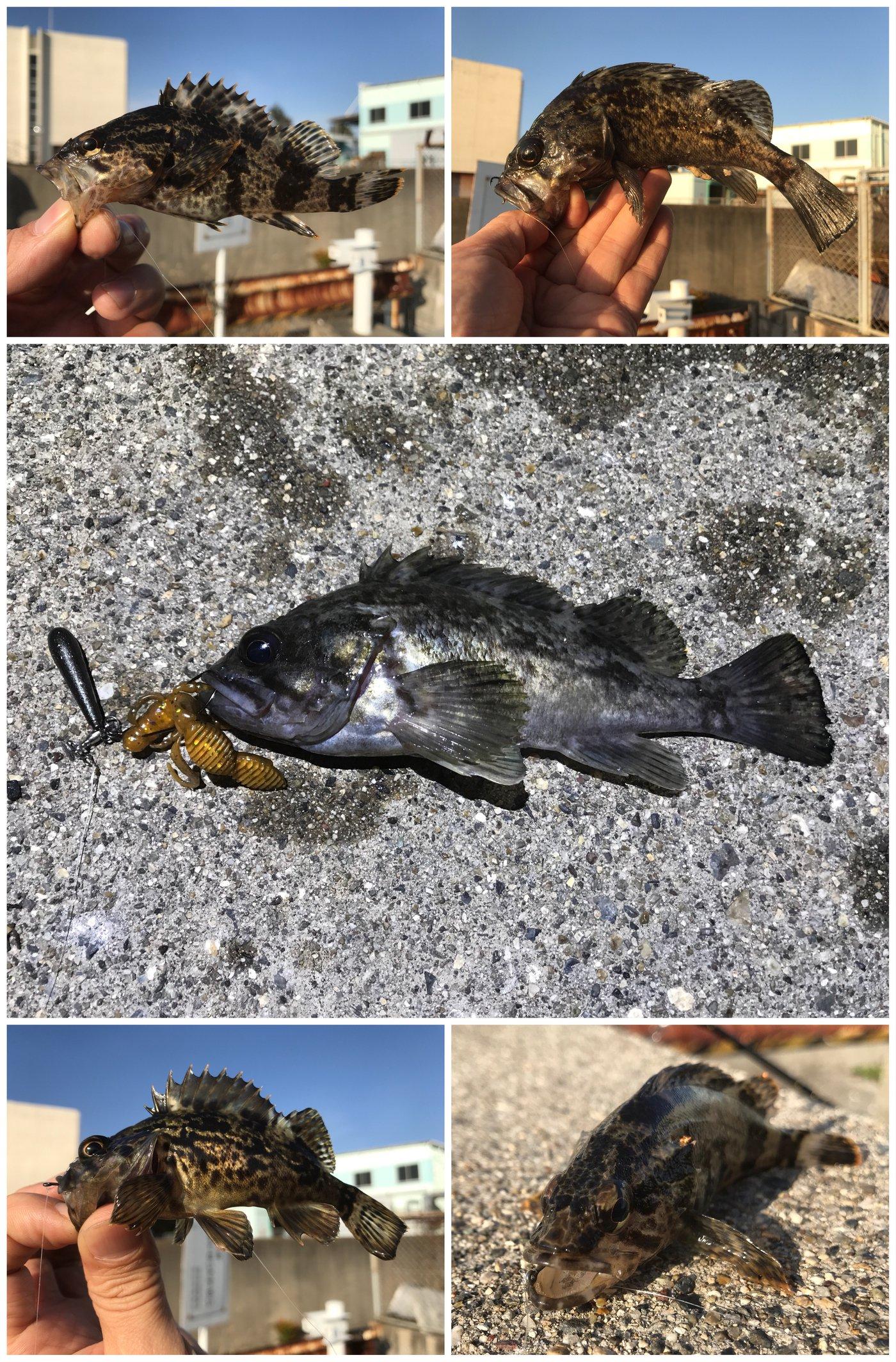 Zeroefficiencyさんの投稿画像,写っている魚はクロソイ,カサゴ,タケノコメバル