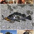 Zeroefficiencyさんの三重県四日市市でのタケノコメバルの釣果写真