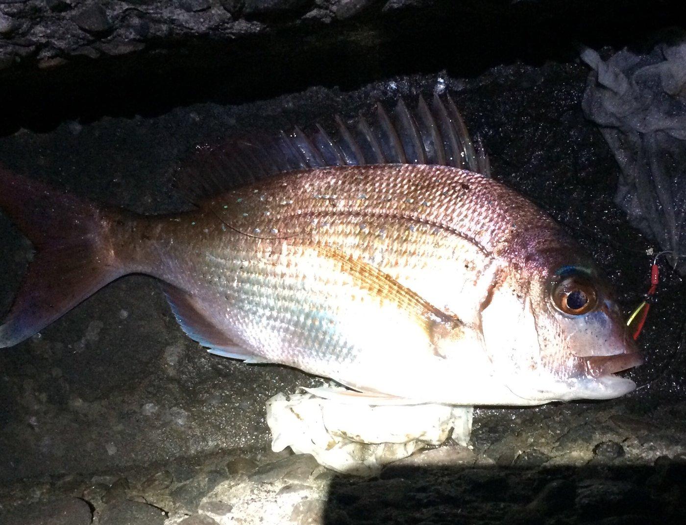 ドバコさんの投稿画像,写っている魚はマダイ