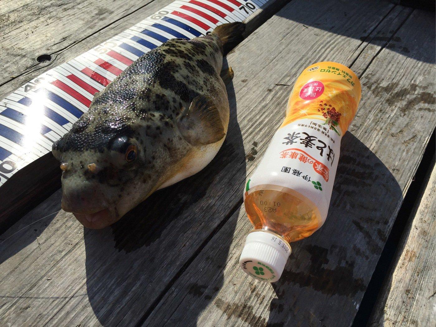きみ☆チヌlove♡さんの投稿画像,写っている魚はショウサイフグ