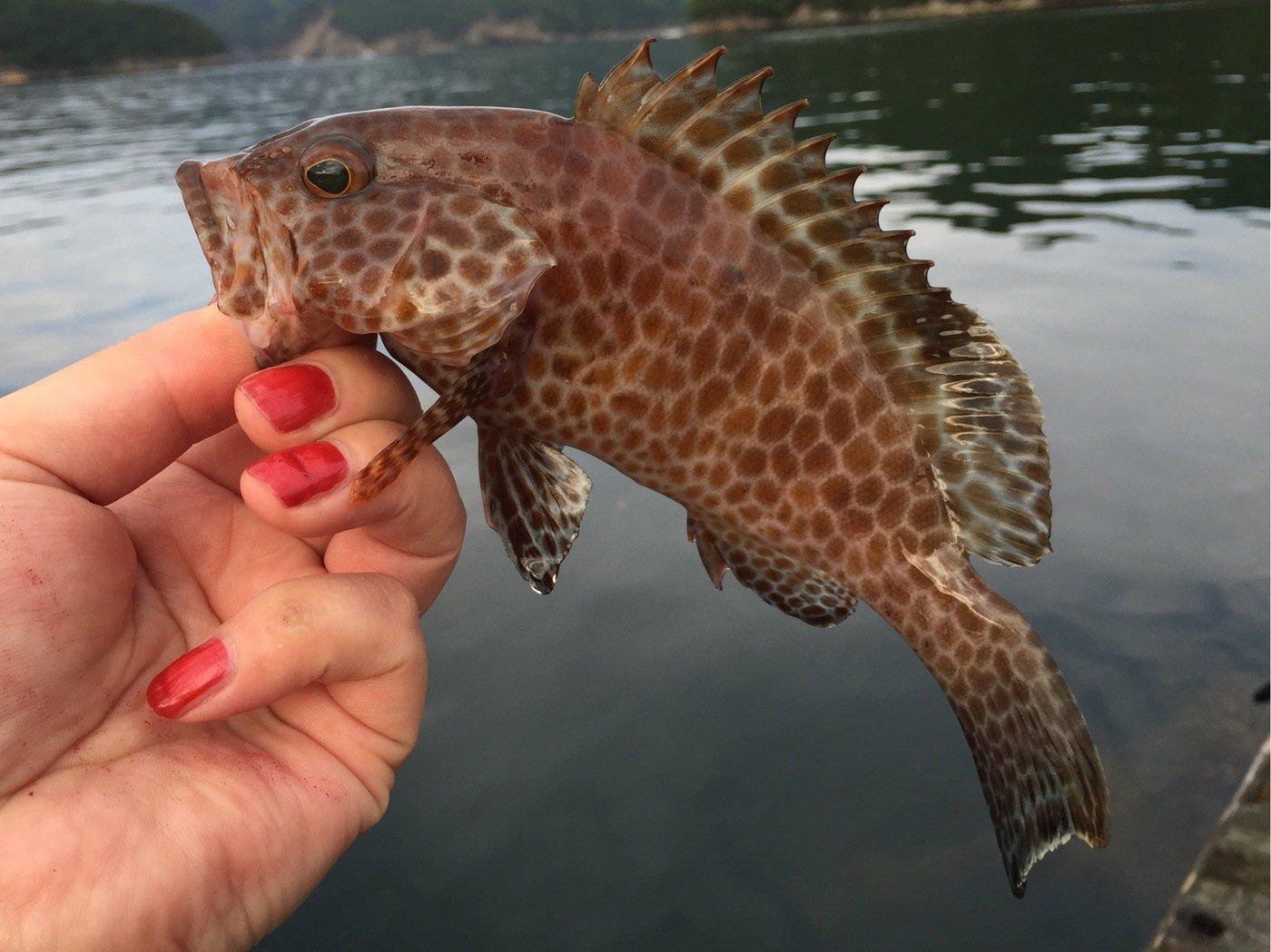 きみ☆チヌlove♡さんの投稿画像,写っている魚はオオモンハタ