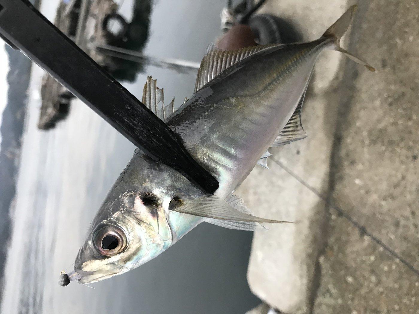 カズピトさんの投稿画像,写っている魚はアジ