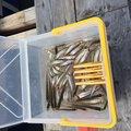 釣りちゃん YouTuberさんの長野県小県郡での釣果写真