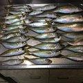 チビっと鷹福岡県さんの福岡県八女市での釣果写真