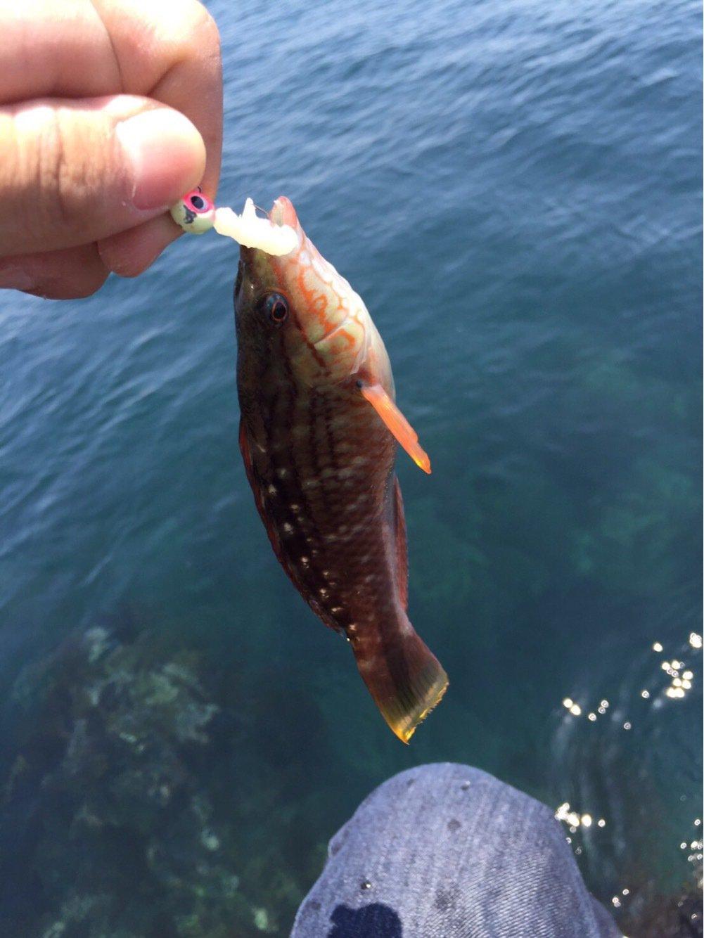 のでぃさんの投稿画像,写っている魚はアカササノハベラ