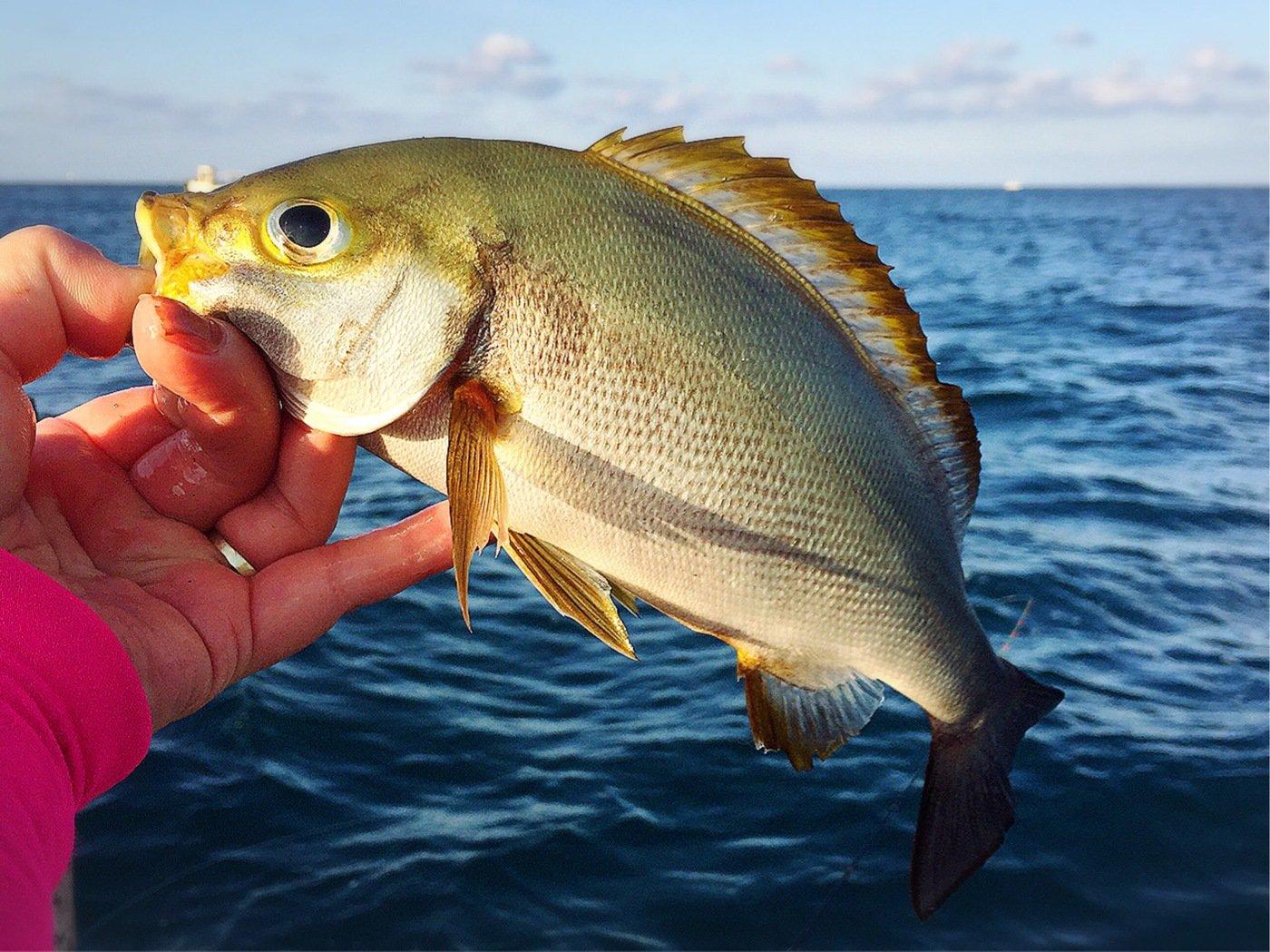きみ☆チヌlove♡さんの投稿画像,写っている魚はイサキ