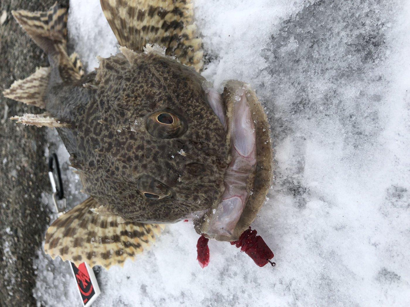 けん坊さんの投稿画像,写っている魚はカジカ