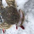 けん坊さんの北海道苫小牧市でのカジカの釣果写真
