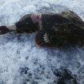 にじますさんの北海道苫小牧市でのカジカの釣果写真