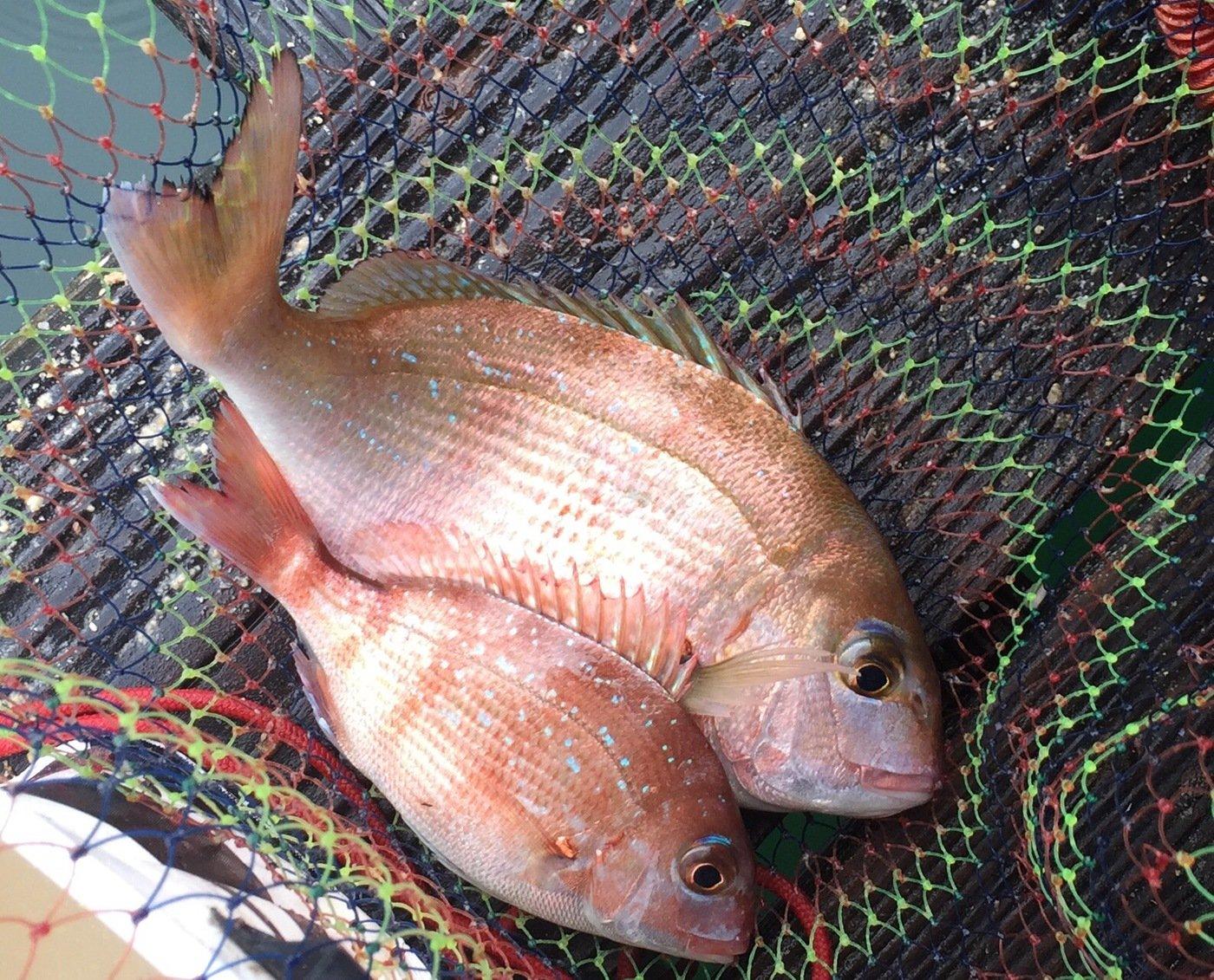 きみ☆チヌlove♡さんの投稿画像,写っている魚はマダイ
