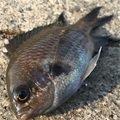 せいたドットコムさんの兵庫県でのスズメダイの釣果写真